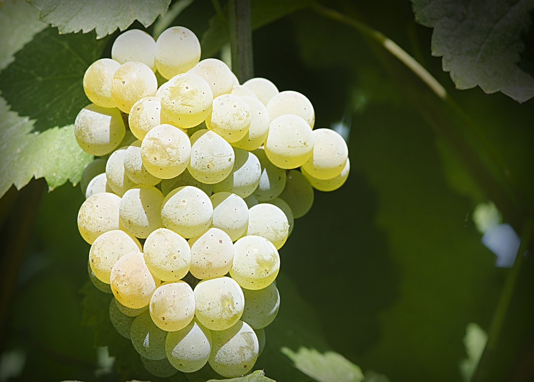 Bunch of grapes - Alvarinho